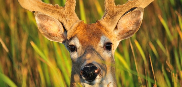 Deer Buck Portrait Wildlife Nature Male Antlers